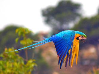 hyacinth macaw vs blue and gold macaw as pets